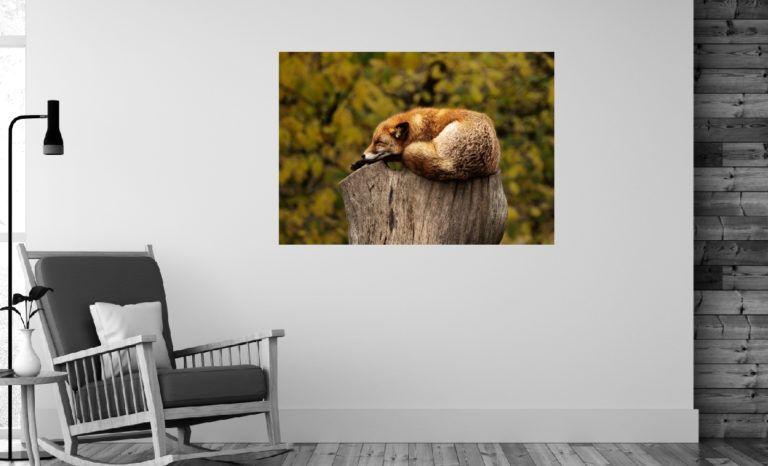 Śpiący lis fotoobraz